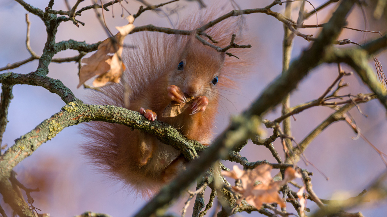 Photo Squirrels Bokeh Branches Staring Animals blurred background Glance animal