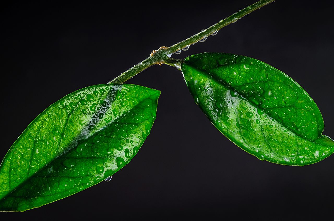 Desktop Hintergrundbilder Blattwerk Grün Natur Tropfen Makrofotografie hautnah Blatt Makro Nahaufnahme Großansicht