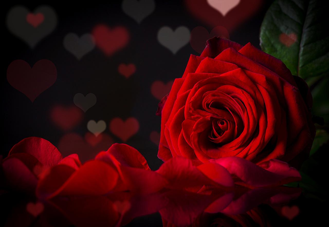 desktop hintergrundbilder herz rosen dunkelrote