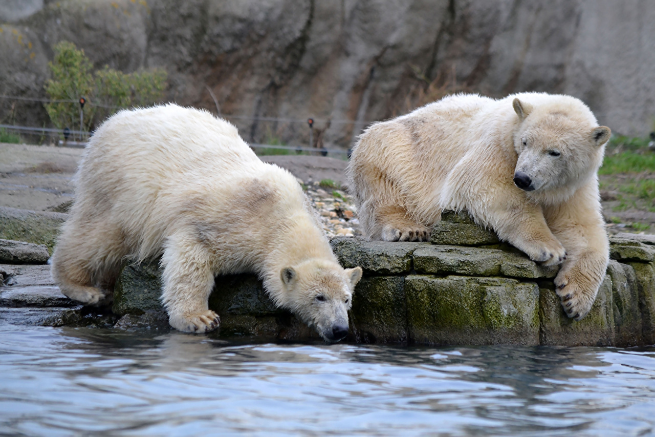 Picture Polar bears bear Two Water animal Bears 2 Animals