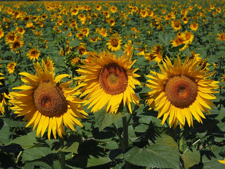 Picture Yellow flower Fields Sunflowers Flowers Helianthus