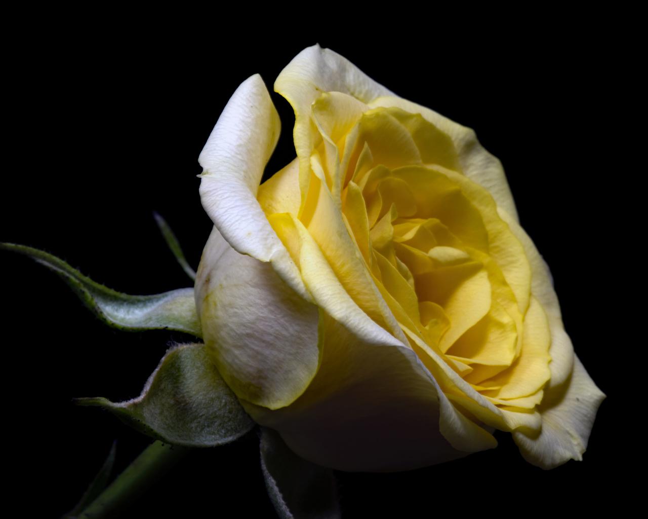 Foto Rose Blüte hautnah Schwarzer Hintergrund Rosen Blumen Nahaufnahme Großansicht