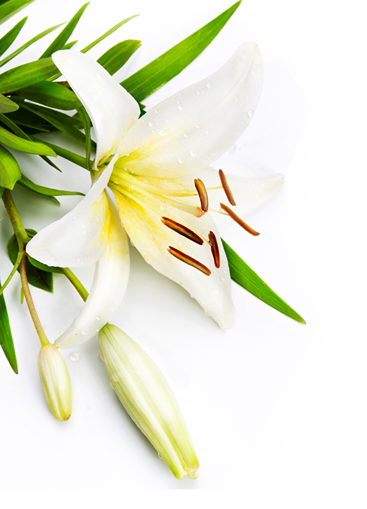 Photo White lilium flower Flower-bud White background  for Mobile phone Lilies Flowers