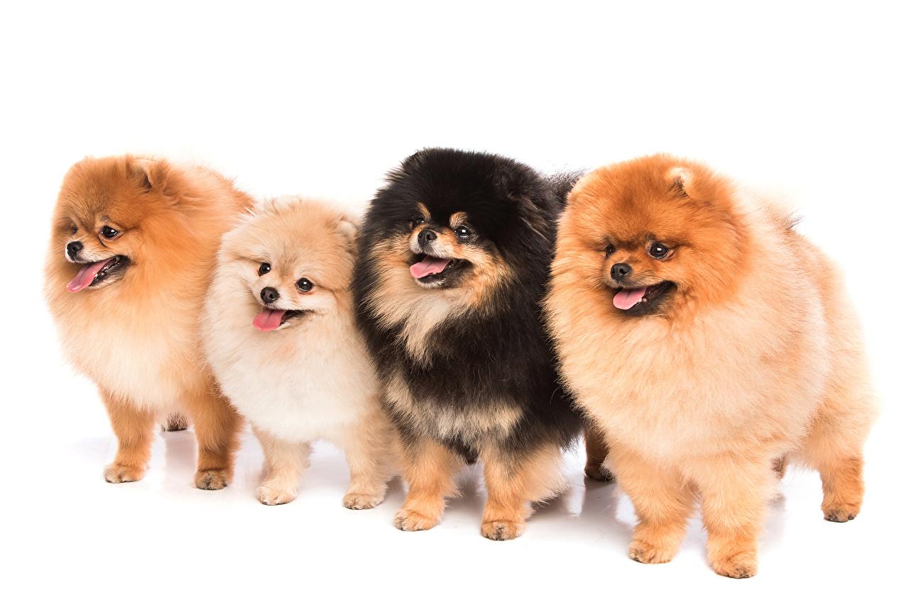Bilder Tiere Spitz Hund Vier 4 Weißer Hintergrund