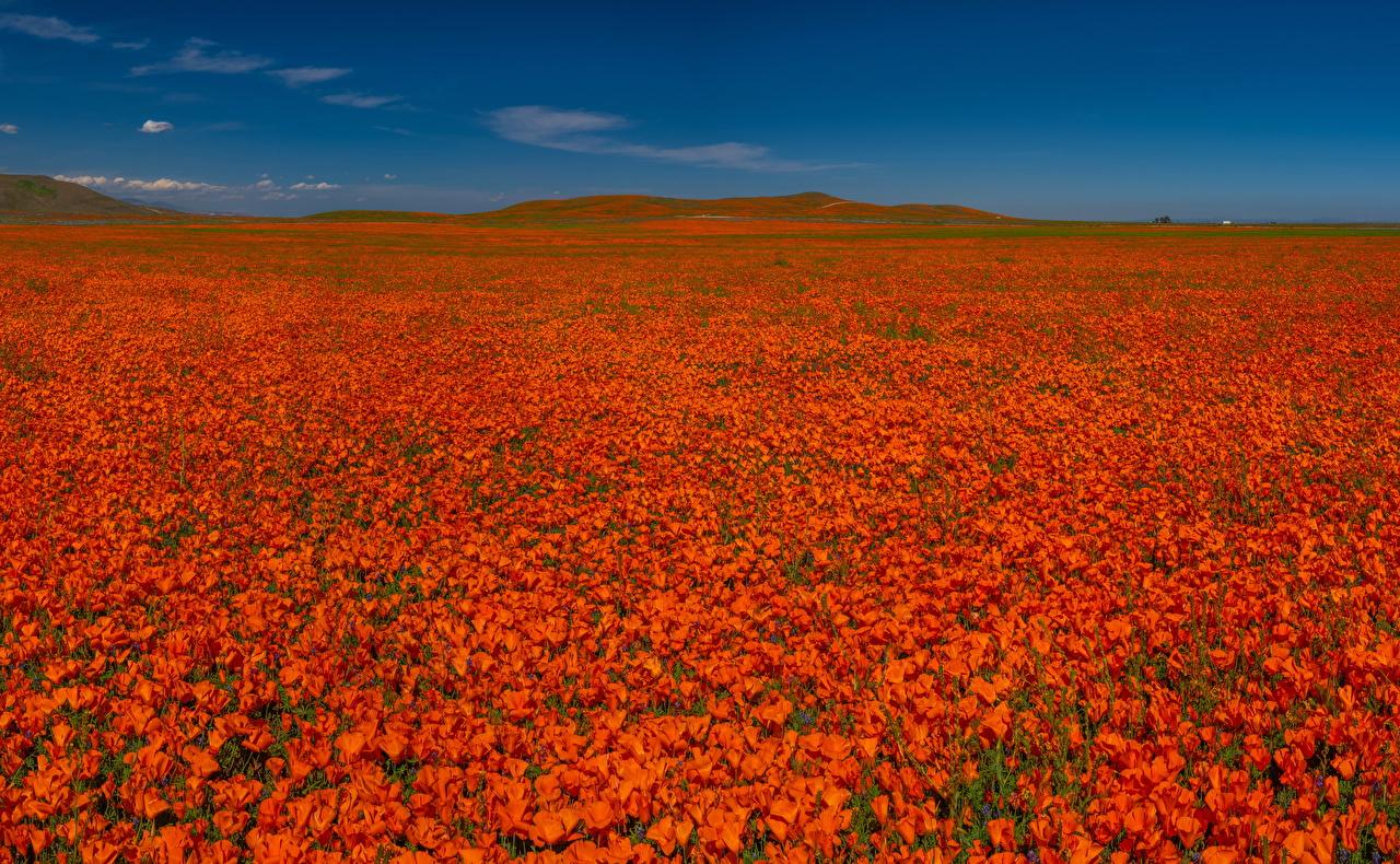 Immagine Rosso Natura fiore papaver Campo agricolo Molte Fiori Papaveri molti
