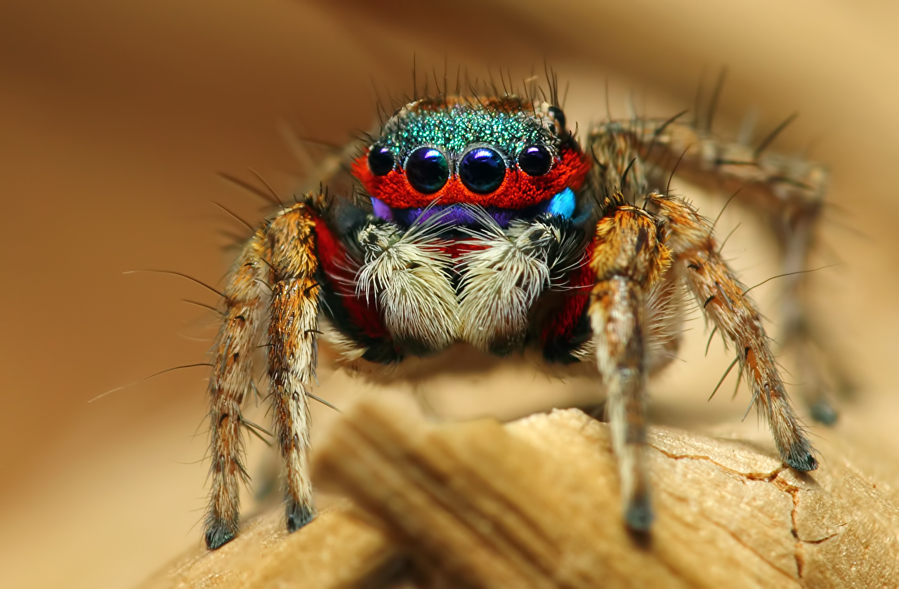 Desktop Wallpapers Jumping spider Insects Spiders Eyes Closeup Animals animal
