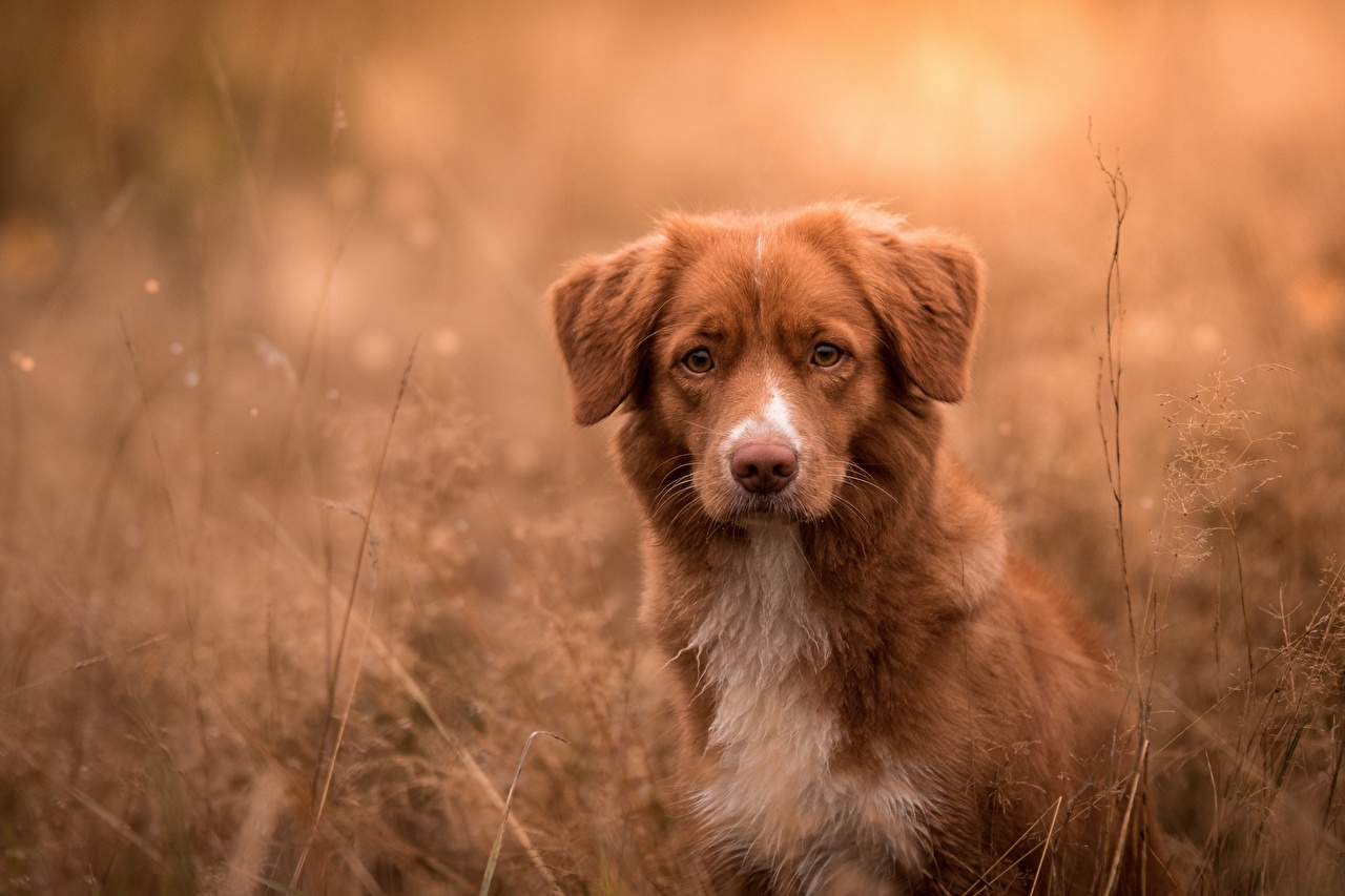 Foto Retriever Nova Scotia Duck Tolling Retriever Hunde Tiere
