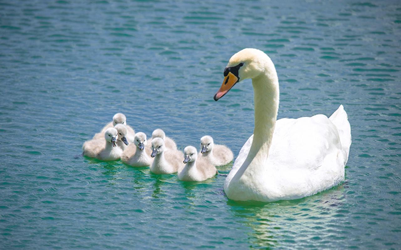 desktop wallpapers swan nestling white