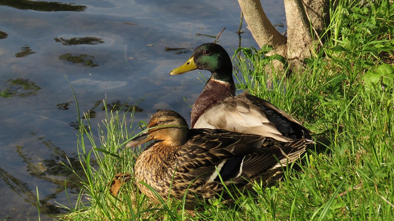 Image Birds Ducks 2 Grass Animals bird duck Two animal