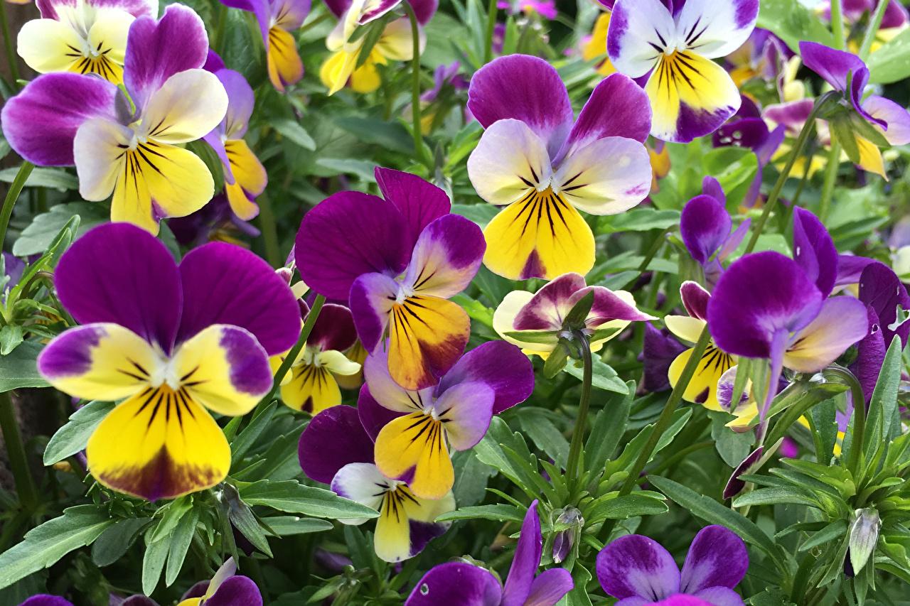 Pictures Pansies Flowers Closeup heartsease Viola tricolor Johnny Jump up flower