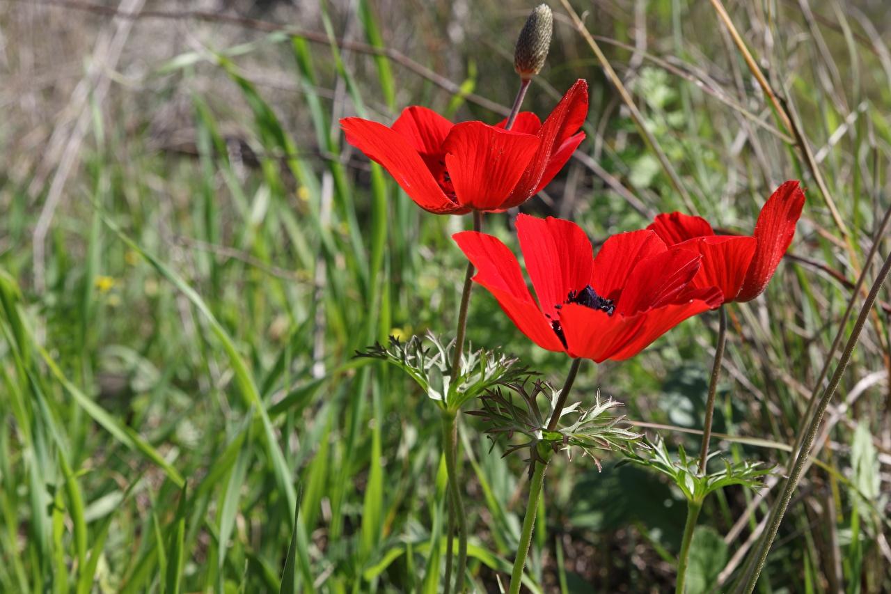 Achtergronden bureaublad Bokeh Rood bloem Gras anemoon Bloemknop onscherpe achtergrond Bloemen Anemonen