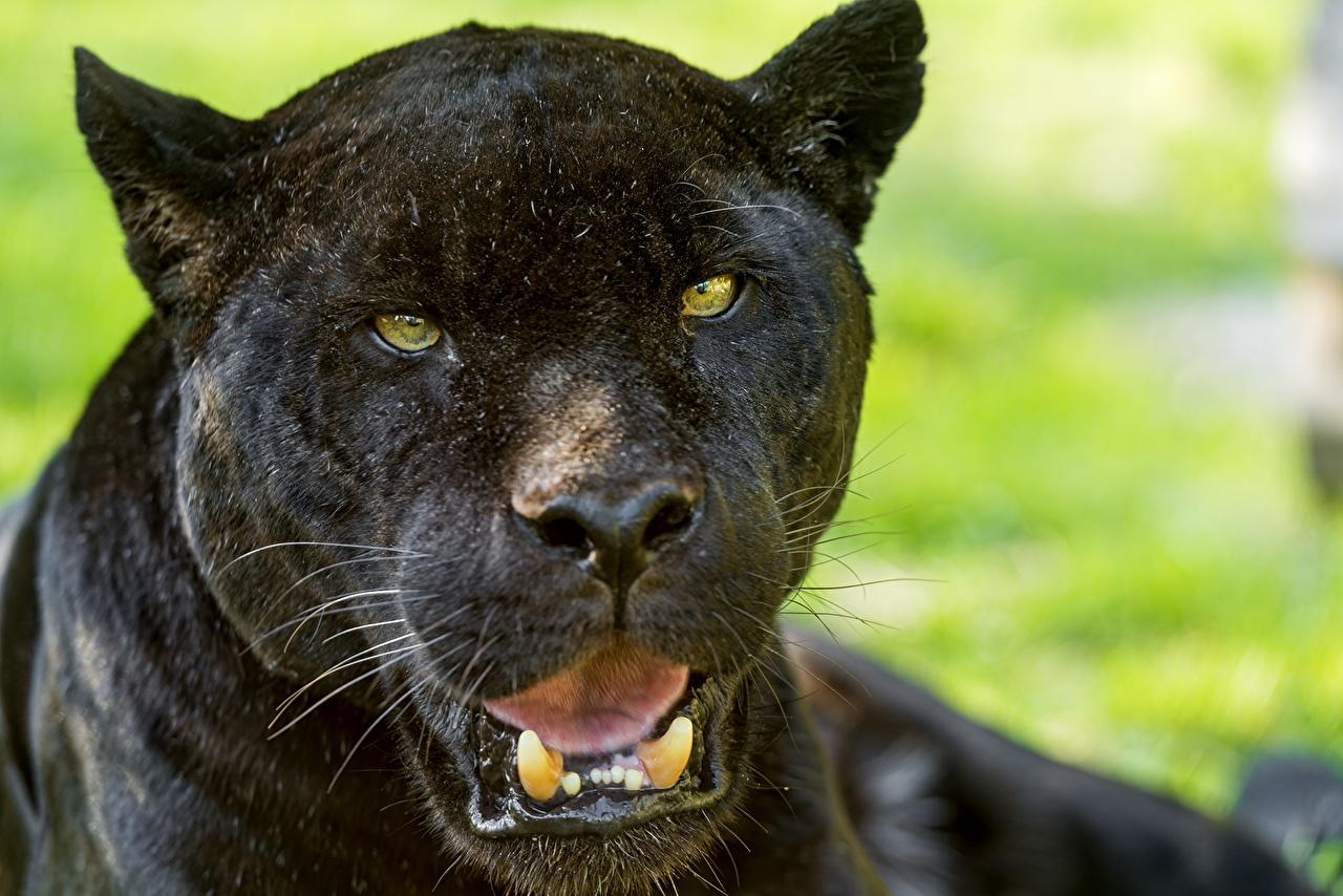Fotos von Jaguaren Schwarzer Panther Eckzahn Schwarz Tiere Blick ©Tambako The Jaguar Starren