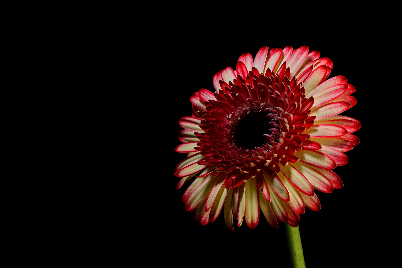 Bilder von Gerbera Blüte Großansicht Schwarzer Hintergrund Blumen hautnah Nahaufnahme
