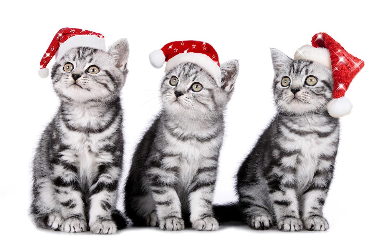 Images kitty cat Cats New year Winter hat Three 3 Animals Kittens cat Christmas animal