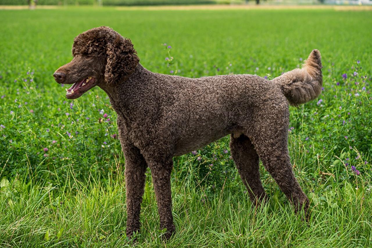 Fotos von Pudel hund Braun Gras Seitlich Tiere Hunde braune braunes ein Tier