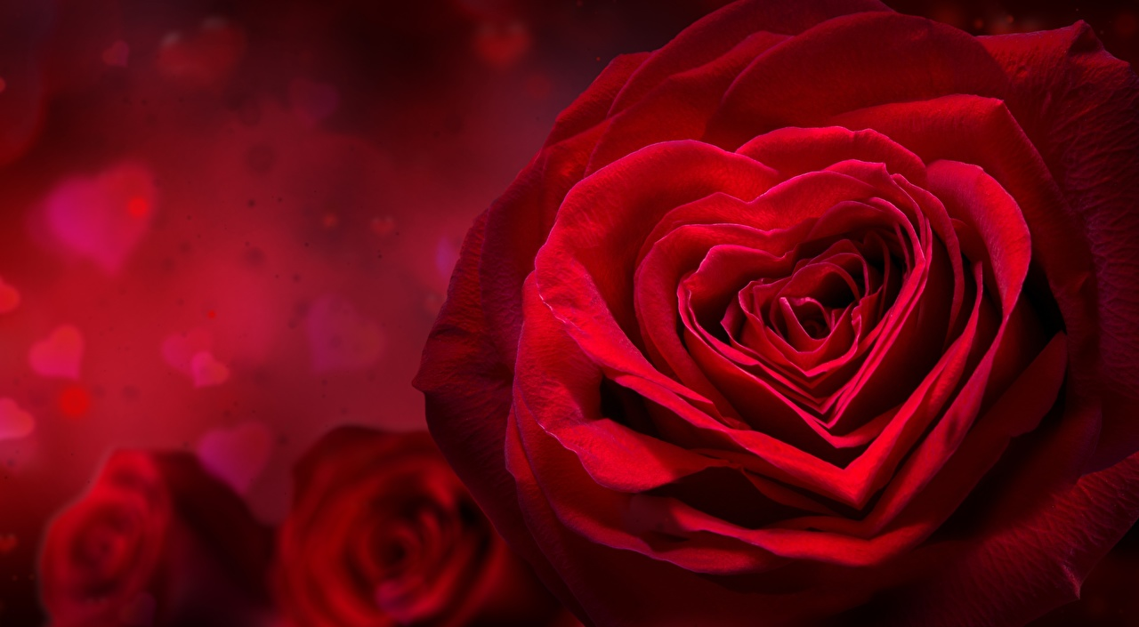 Pictures Heart Red Roses Flowers Closeup