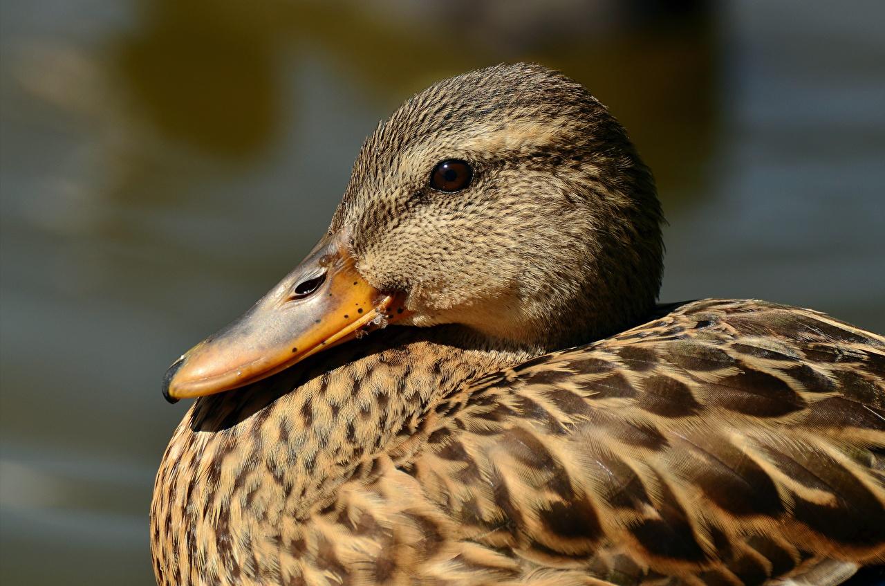 Bilder von Entenvögel Schnabel Kopf Tiere Großansicht Ente
