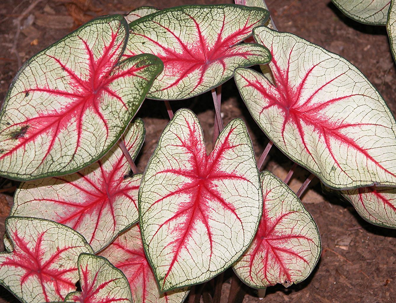 Fotos Blattwerk Blumen Kaladien Großansicht Blatt Blüte hautnah Nahaufnahme