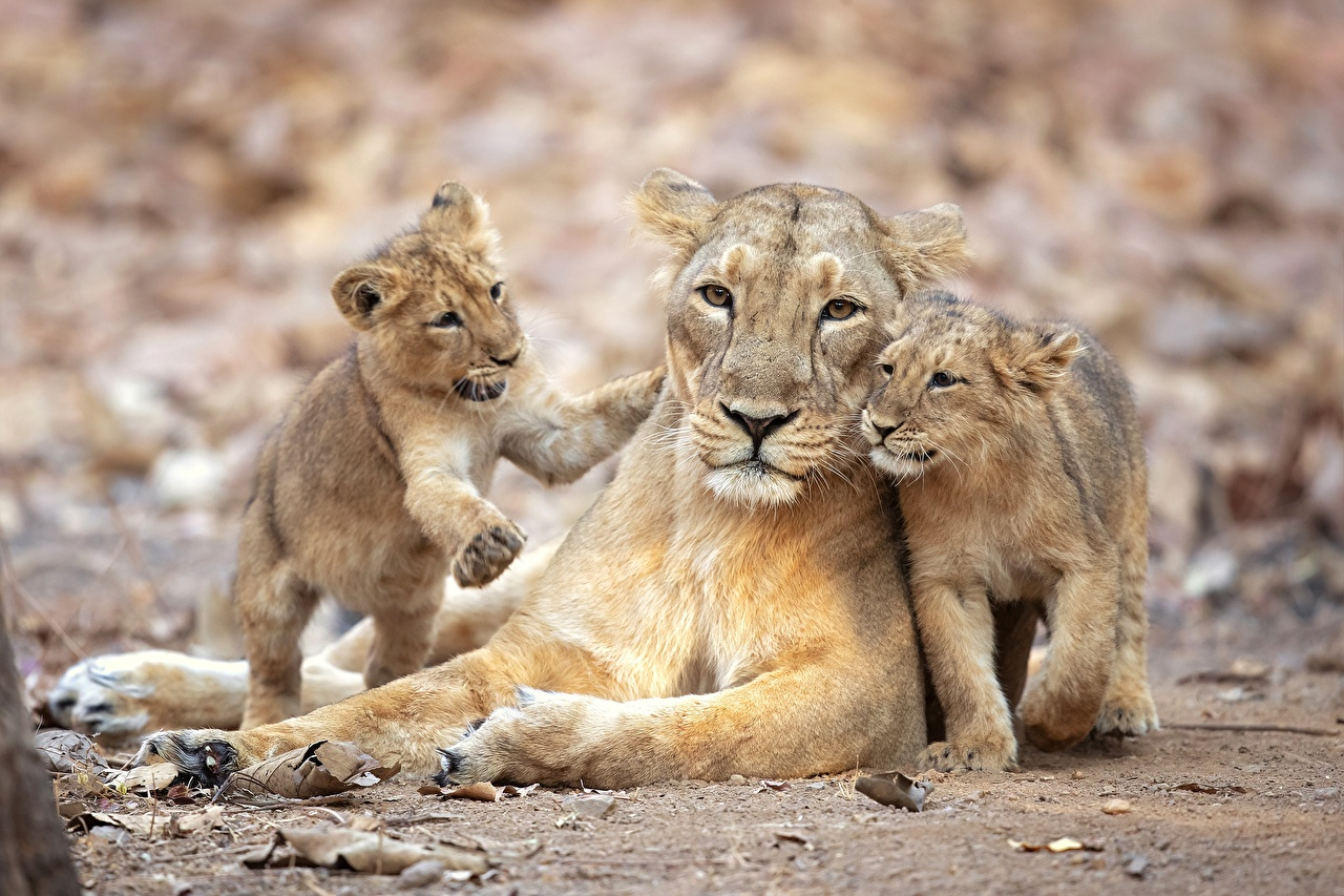 Wallpaper lion Lioness Cubs Three 3 Animals Lions animal