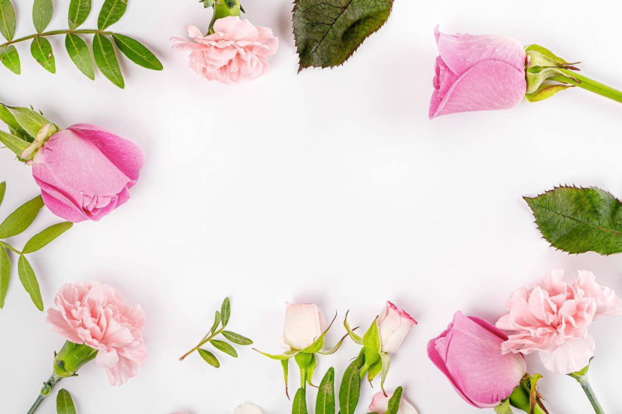 Roses Dianthus Fond blanc Gabarit carte de voeux Rose couleur fleur, rose Fleurs