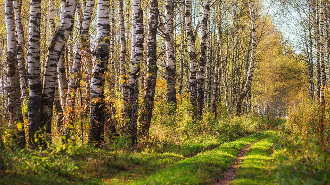 Picture Birch Nature Roads Forests Trees forest