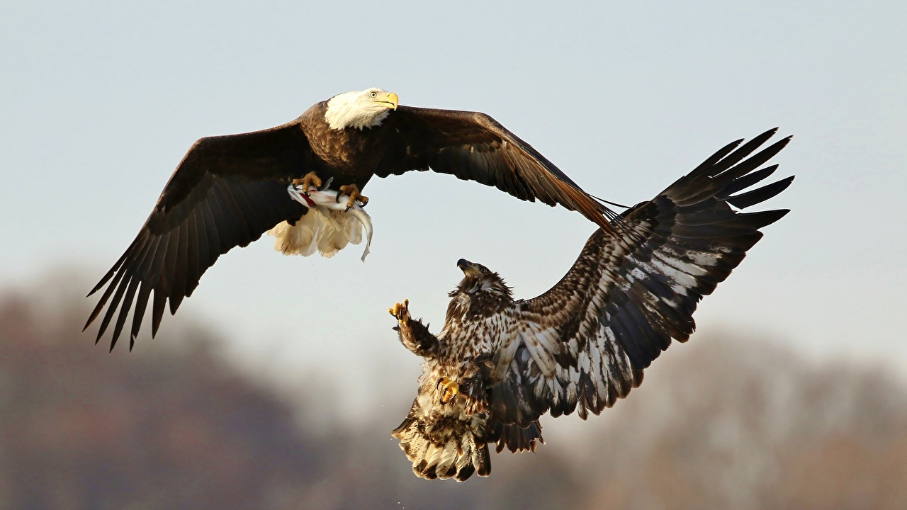 Desktop Wallpapers Bald Eagle eagle Birds hunt Two Fight Animals bird Eagles Hunting 2 animal