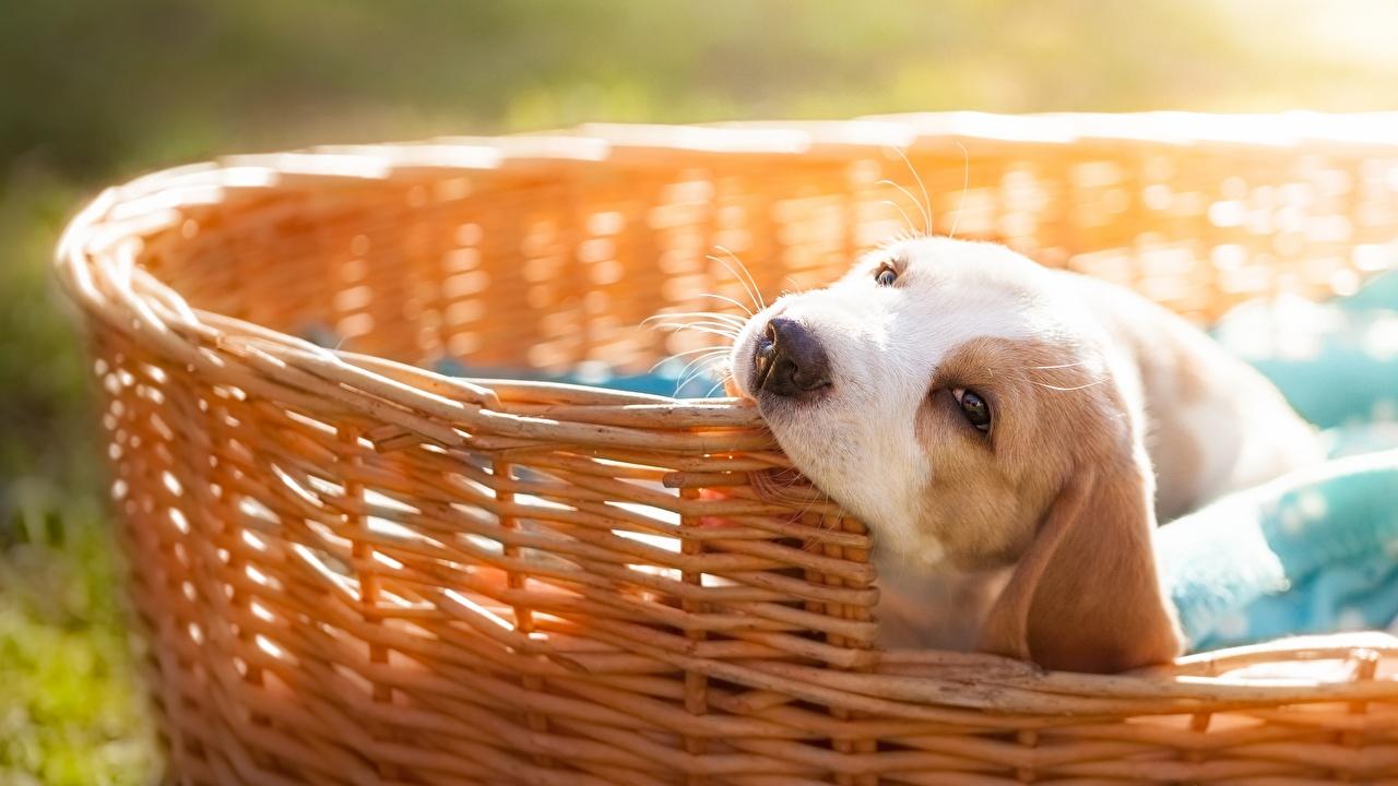 Bilder von Beagle hund Weidenkorb Tiere Hunde ein Tier