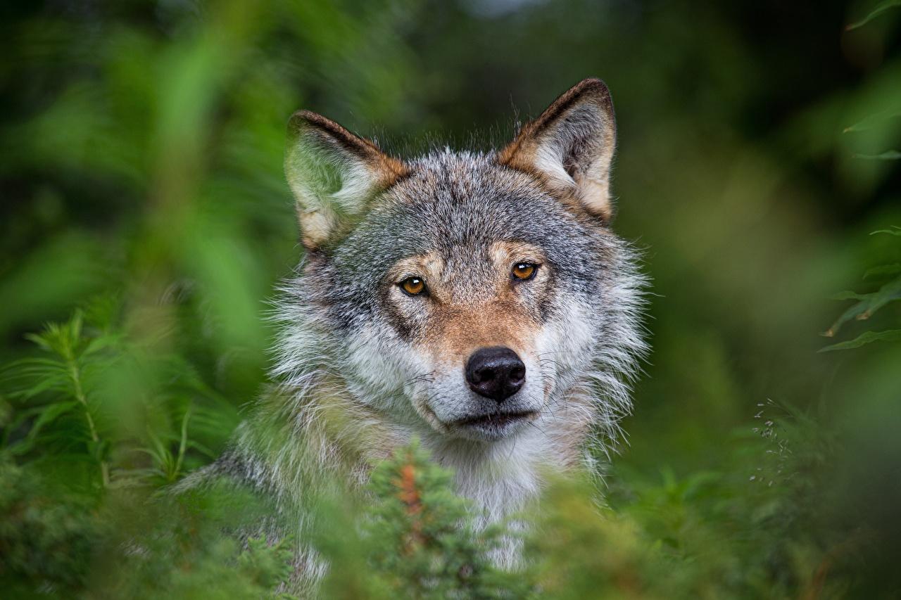 Fotos von Wolf unscharfer Hintergrund Gras Kopf Starren ein Tier Wölfe Bokeh Tiere Blick