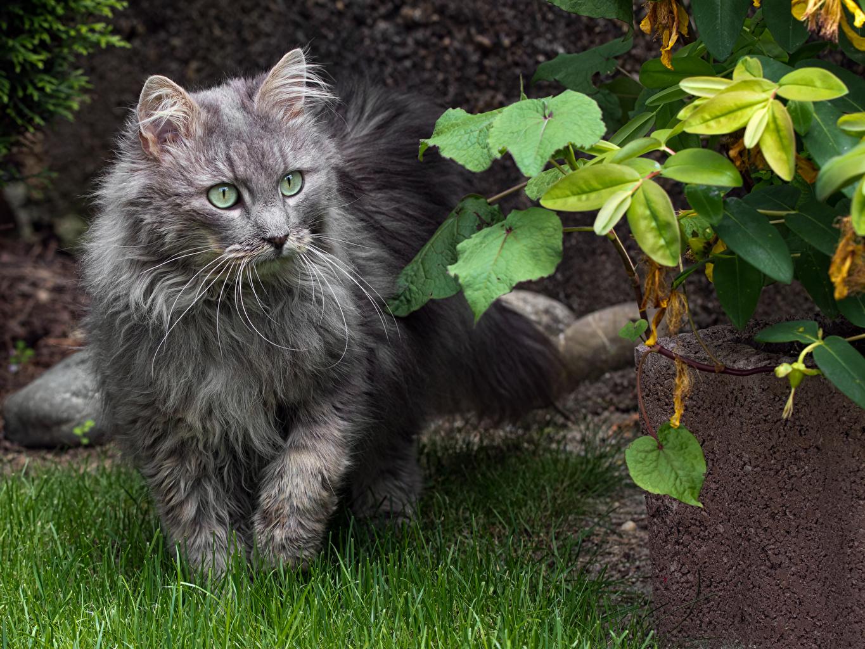 Desktop Hintergrundbilder Hauskatze Grau Gras Tiere Starren Katze Katzen graue graues Blick ein Tier