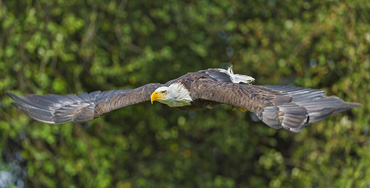 Desktop Wallpapers Birds Eagles Wings Flight animal bird eagle Animals