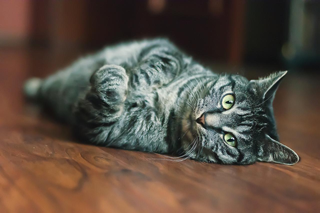 Fotos von Katze Blick ein Tier Katzen Hauskatze Tiere Starren