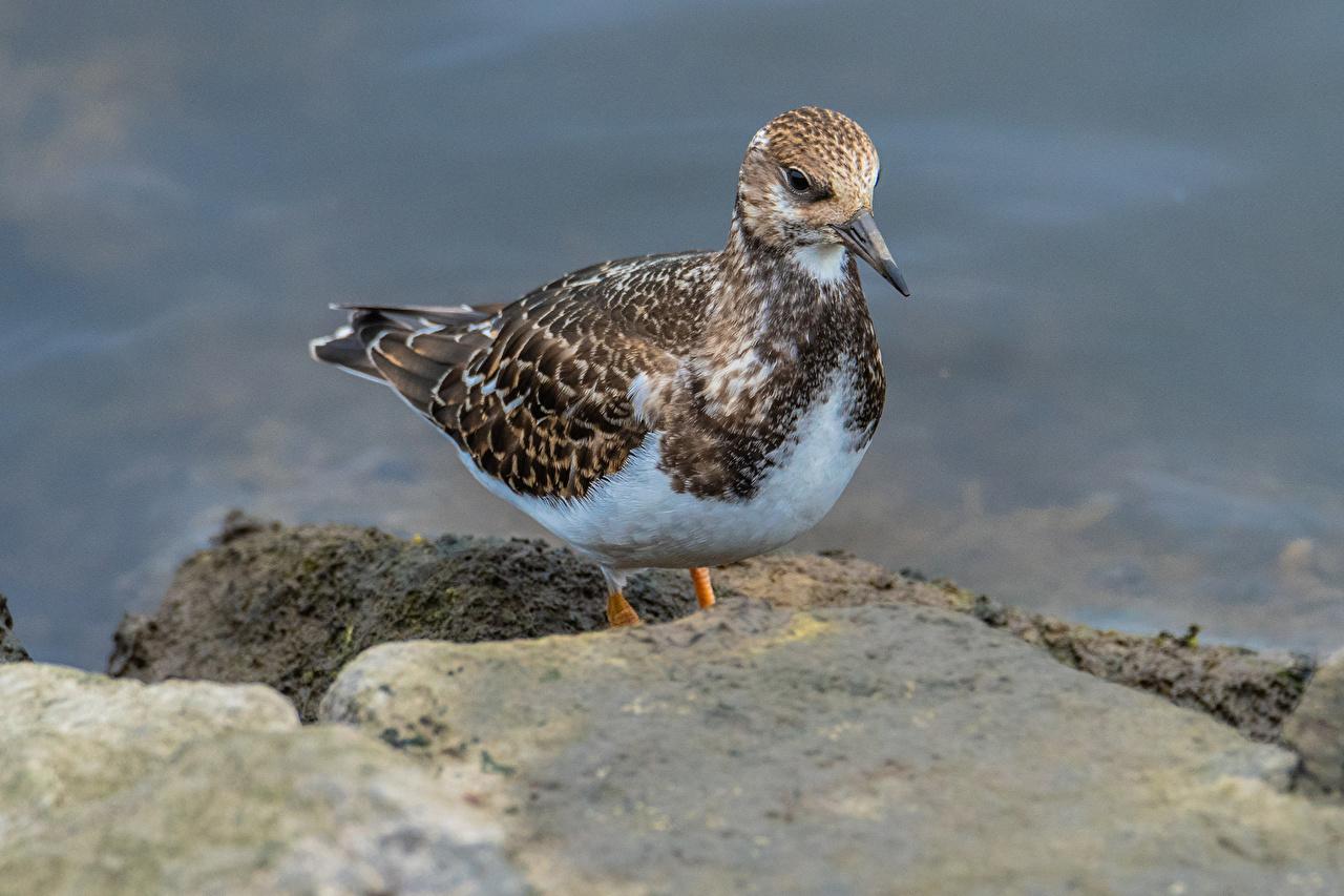 Desktop Hintergrundbilder Vogel Ruddy Turnstone Tiere Vögel ein Tier