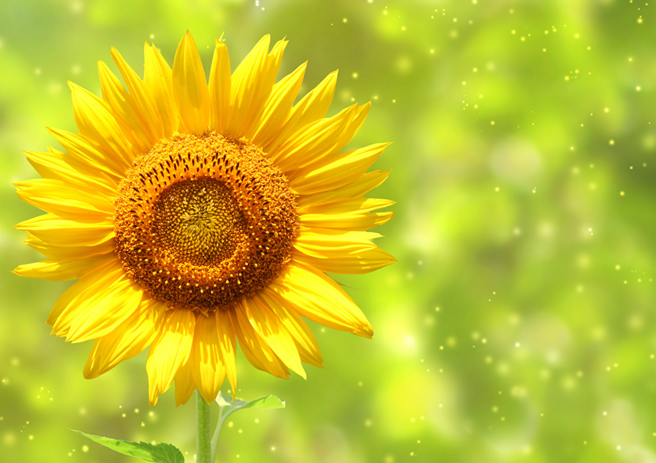 Pictures Yellow Flowers Sunflowers Closeup flower Helianthus