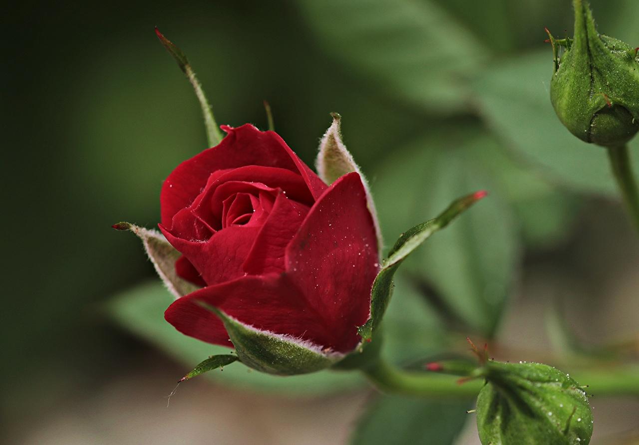 Images Roses dark red Flowers Closeup rose maroon burgundy Wine color flower