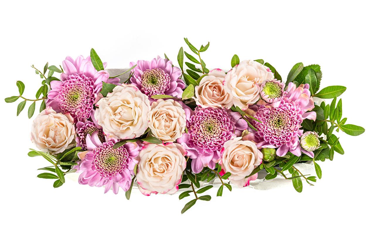 Rosas Crisantemos El fondo blanco flor, rosa Flores