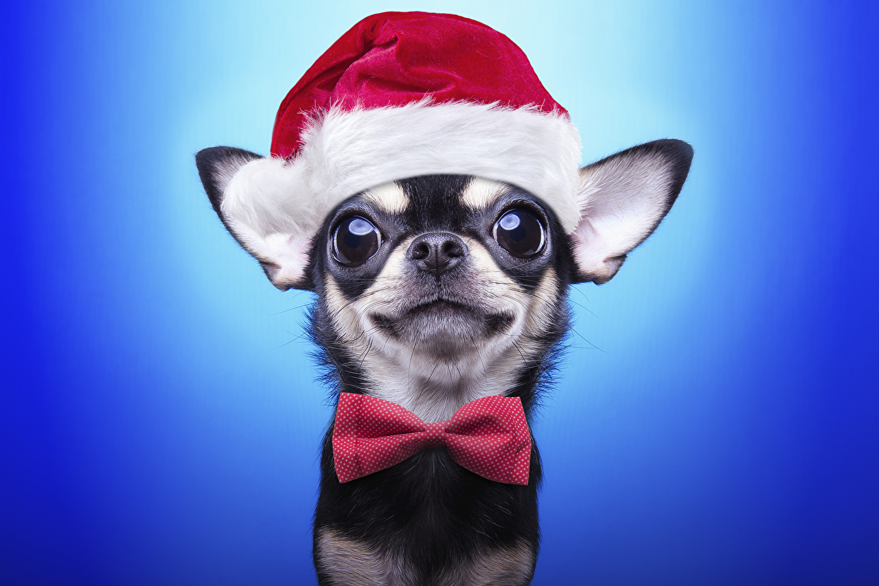 Image Animals Chihuahua Dogs New year Winter hat Bowknot Glance Bow tie Colored background animal dog Christmas bow knot Staring