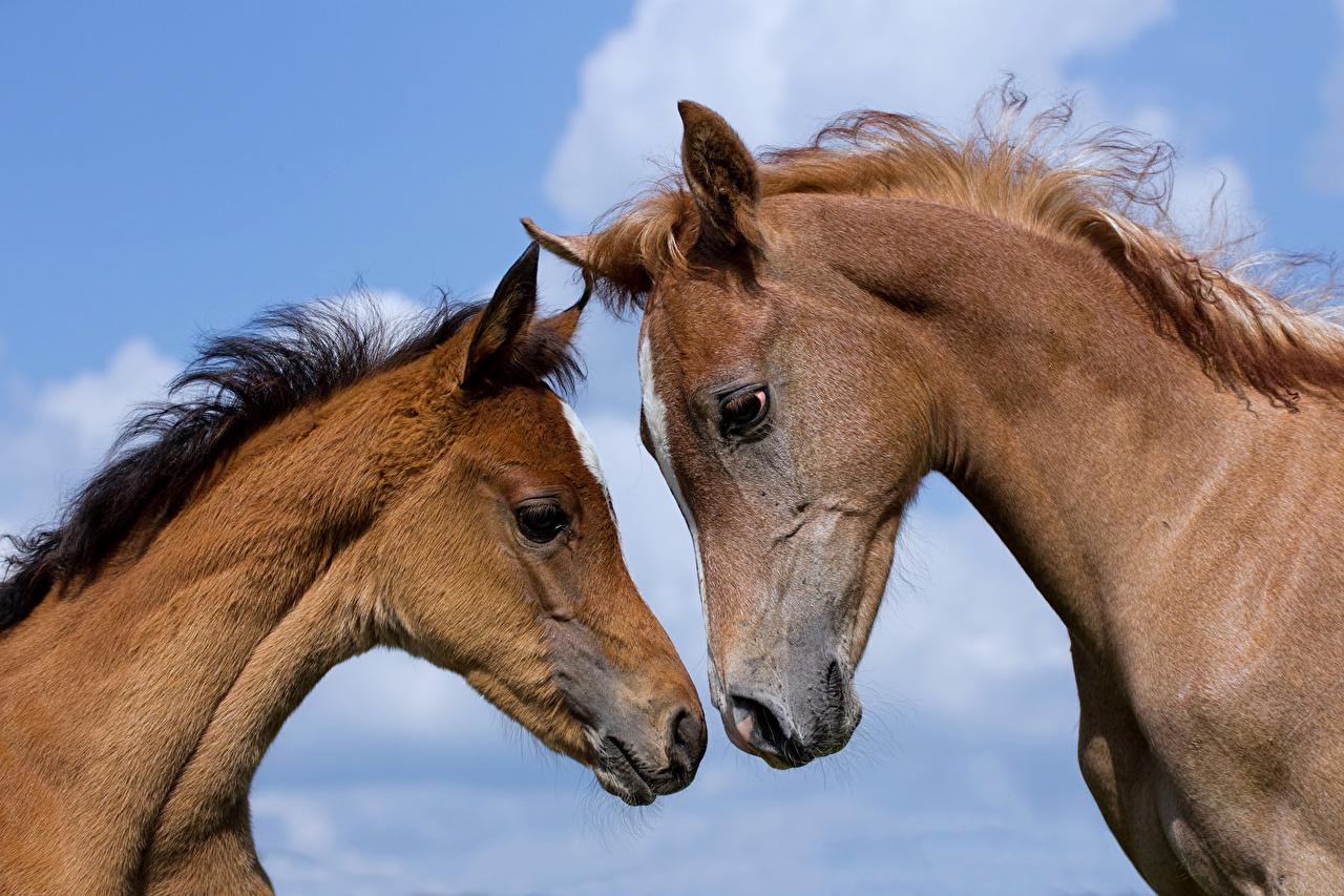 zdjęcie koń dwóch Pysk Głowa zwierzę Konie dwie Dwa 2 dwoje Kufa Zwierzęta