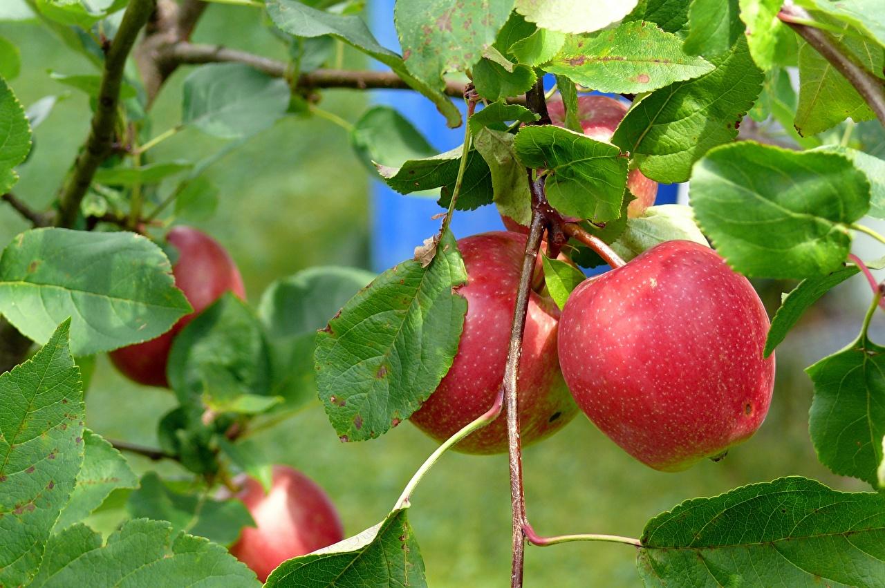Fotos von Blatt Rot Äpfel Ast das Essen Nahaufnahme Blattwerk Lebensmittel hautnah Großansicht