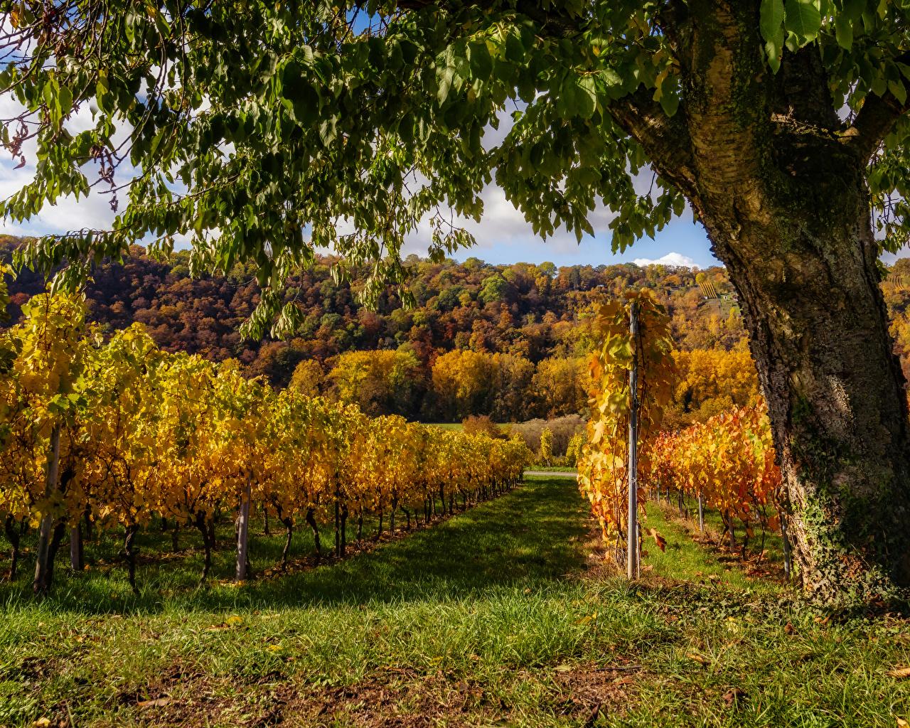 Desktop Wallpapers Germany Baden-Wuerttemberg Vineyard Autumn Nature Grass Bush Trees Shrubs