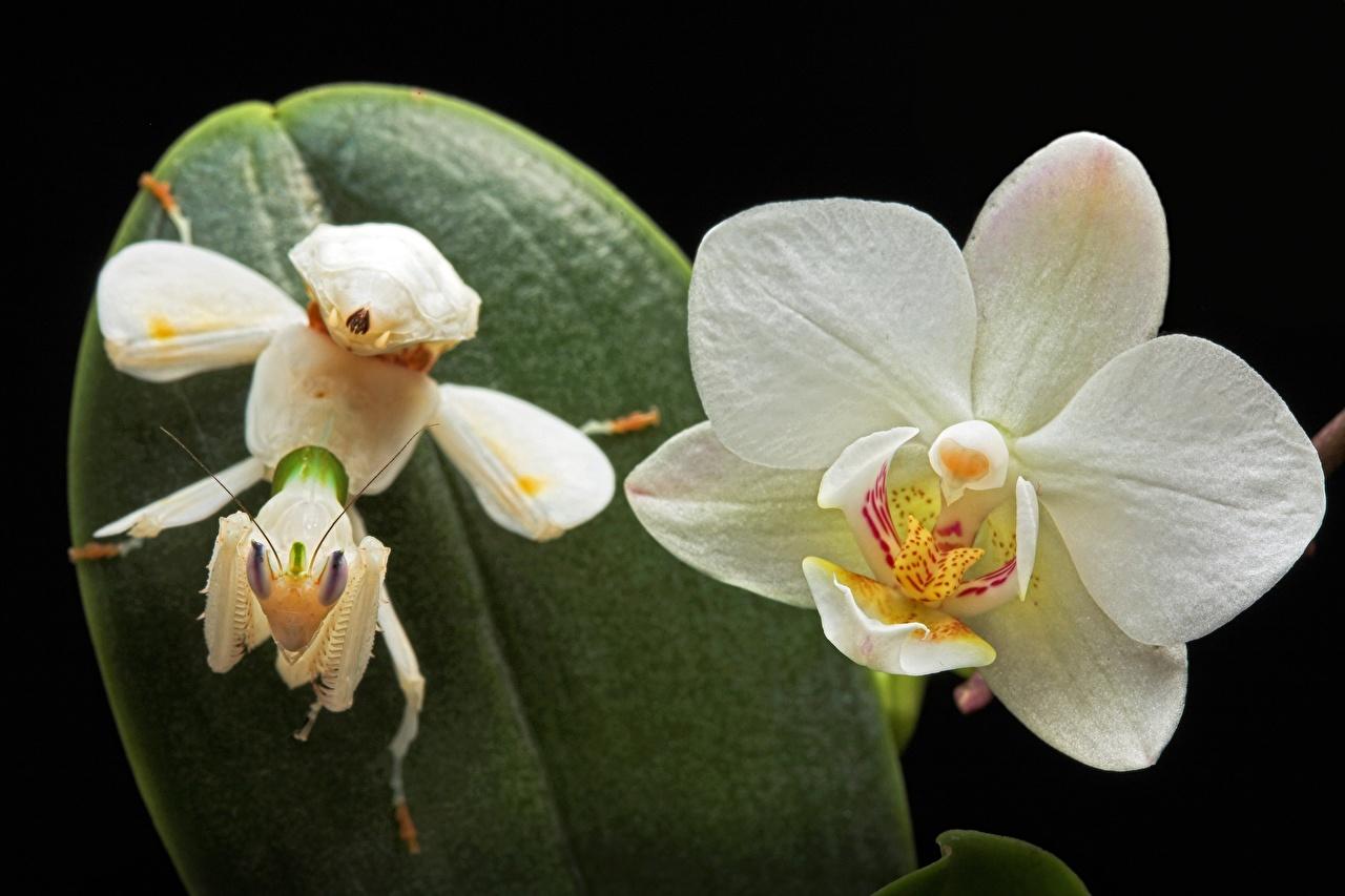 Photo Mantis Orchid flower Closeup mantodea orchids Flowers
