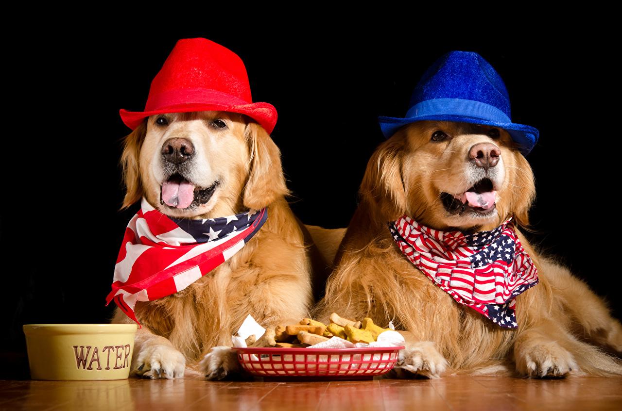 Fotos Golden Retriever Hunde 2 Der Hut Tiere Schwarzer Hintergrund Zwei