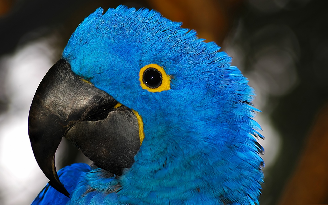 Image Ara (genus) bird Parrots Beak Blue Head animal Birds parrot Animals