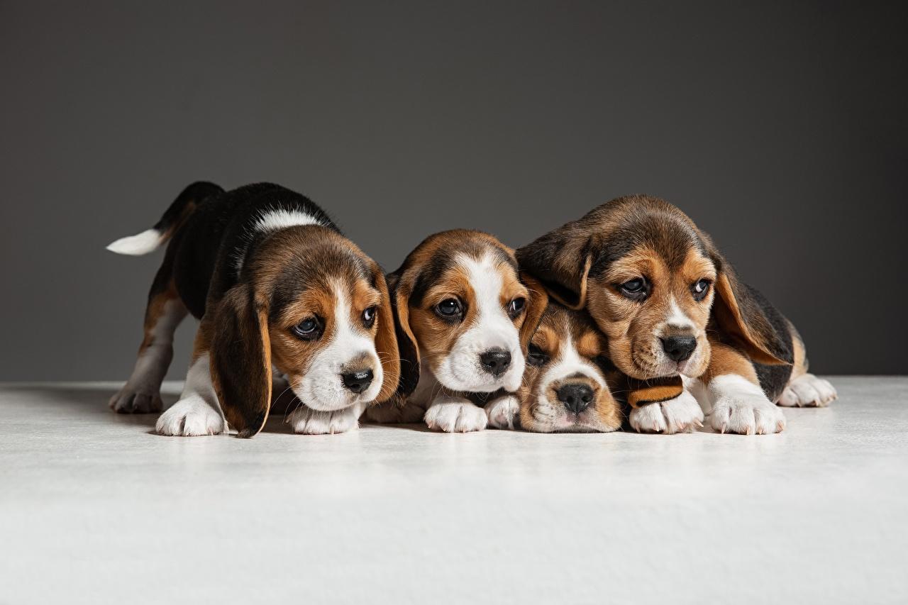 Desktop Hintergrundbilder Welpe Beagle Hunde Vier 4 ein Tier welpen hund Tiere