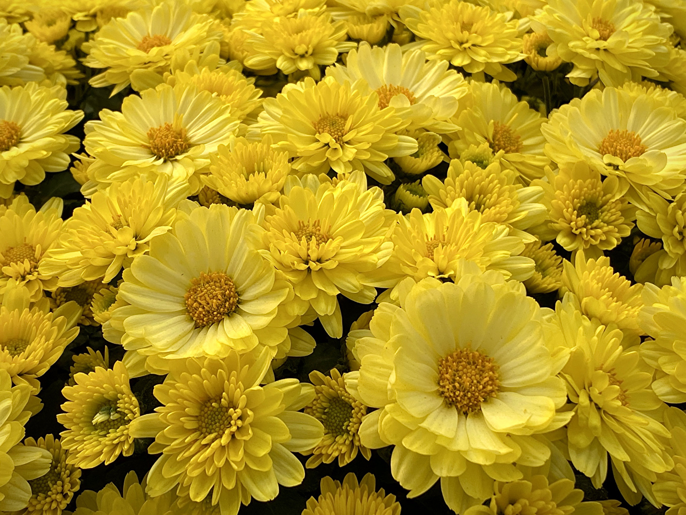 Photos Yellow Asters Flowers Many Closeup flower