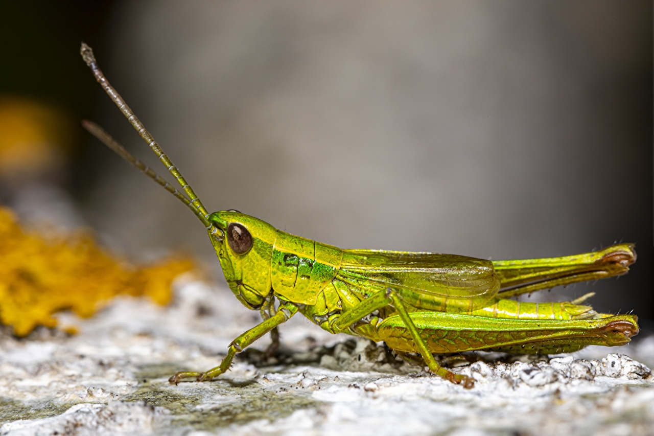 Image Insects Grasshoppers blurred background Green Closeup Animals Bokeh animal