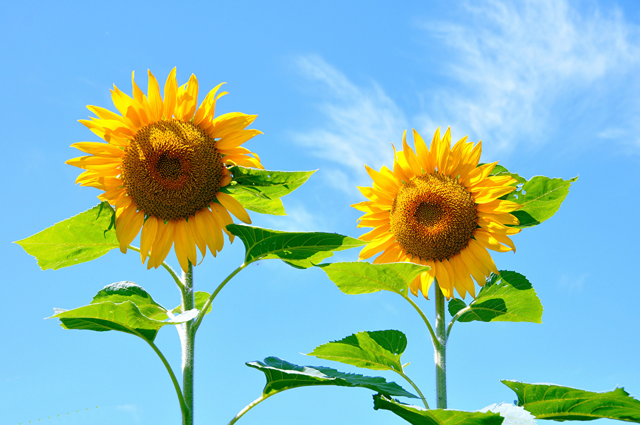 Pictures Two Sky Flowers Sunflowers