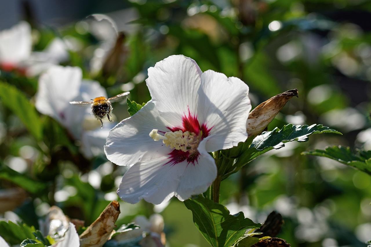 ,特寫,木槿,蜜蜂,昆虫,散景,白色,花卉,
