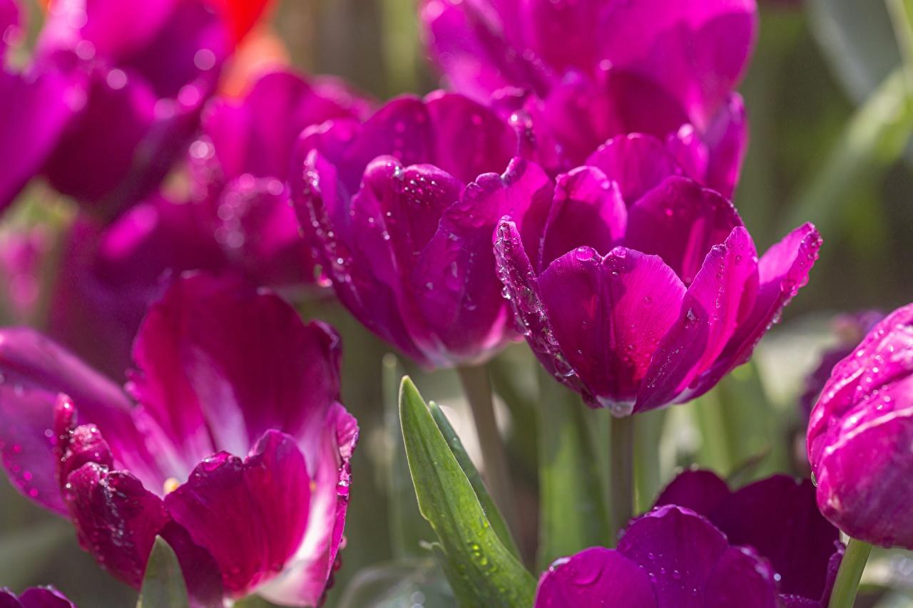 Fotos unscharfer Hintergrund Tulpen Violett Blüte Tropfen Großansicht Bokeh Blumen hautnah Nahaufnahme