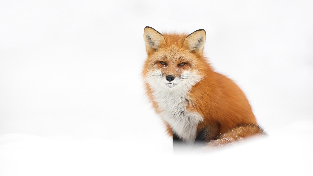 壁紙キツネ白背景オレンジ色動物凝視動物