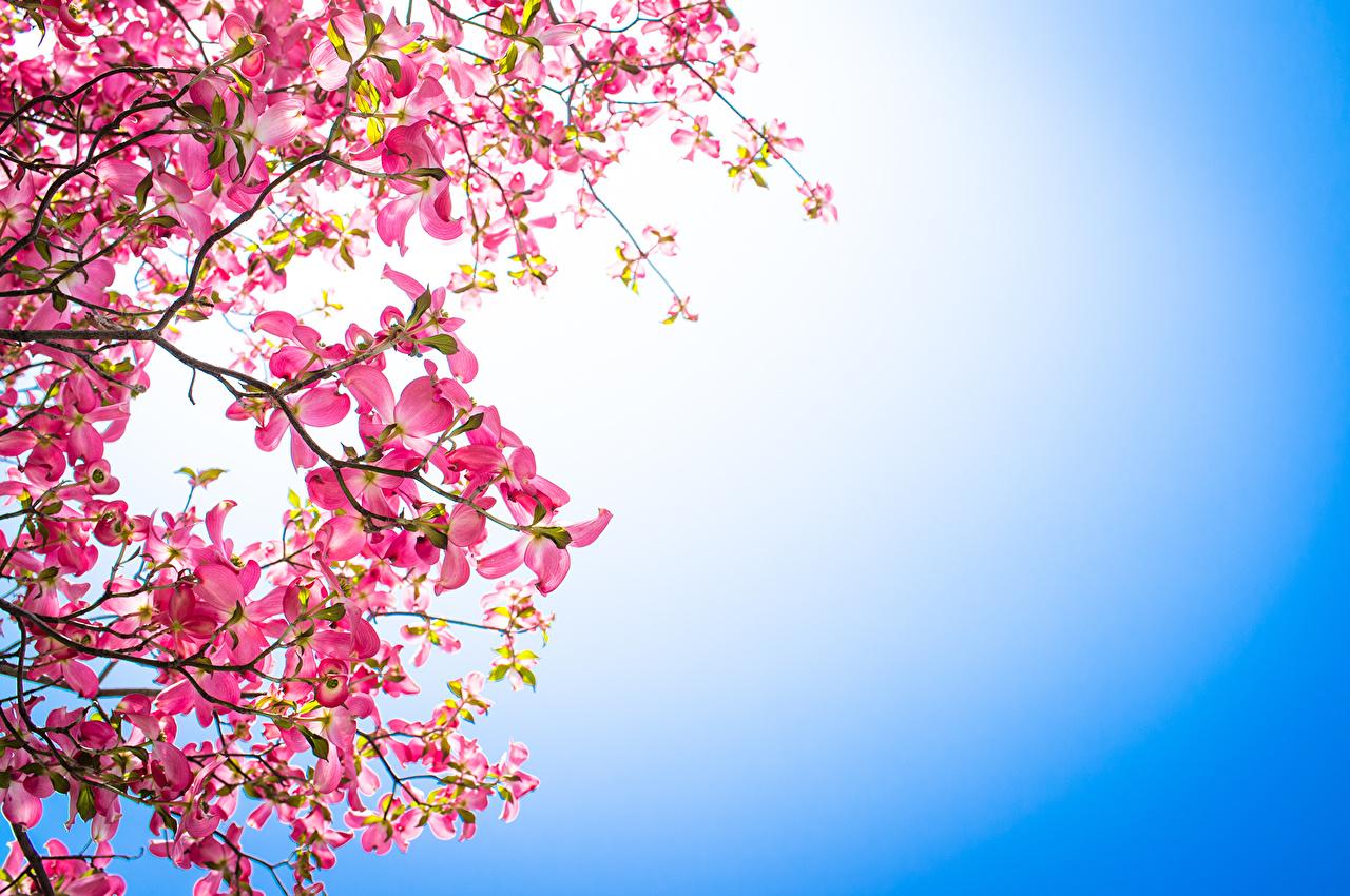 Fonds d'ecran La floraison des arbres Cornus (genus) Rose couleur Branche Fleurs télécharger photo